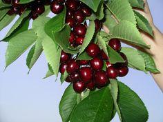 fresh black cherries!