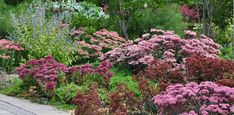 Sedums Add Color to the Late Summer Garden, mine are in the backyard under my black walnut trees