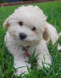 Olive the poodle puppy, smiling. #poodle #puppy