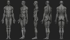 Anatomy study: Skeleton and ecorche by Artur Owśnicki   Creatures   3D   CGSociety
