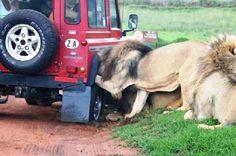 Soit le lion donne un coup de main pour changer la roue, soit il crève un pneu pour immobilser son repas...
