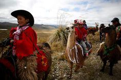 Kids ride their llamas before the 'Llamingada' race at the National Park of Llanganates, near Salcedo - Buy this stock photo and explore similar images at Adobe Stock Wetland Park, Riding Pants, Old Dresses, Kids Ride On, Quito, Llamas, Livestock, Ecuador, Habitats