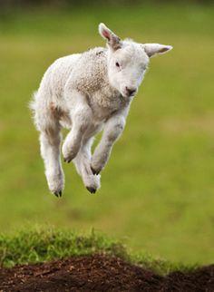 The Lambs Gambol. - stock photo