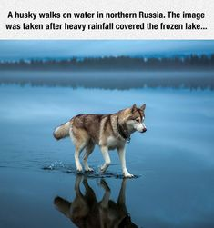 A Husky Dog ~ That Can Walk On Water!