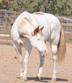 Paint Most Beautiful Animals, Beautiful Horses, Thoroughbred Horse, Andalusian Horse, Friesian Horse, Arabian Horses, Horse Markings, Baby Horses, Draft Horses
