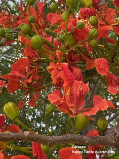 De flamboyant staat weer in bloei. Zie al die kleuren eens! #Flamboyant #HappyTurtleApartments #Curacao Happy Turtle, Flamboyant, Plants, Plant, Planets