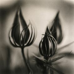hibiscus, platinum/palladium print by David Johndrow, 2004