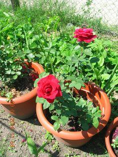 Gradinarit anotimp cu anotimp: Folosirea sarii amare (Epsom) in gradina Gardening, Plant, Lawn And Garden, Horticulture