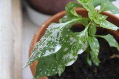 Yaprak Biti (Yeşil Bit) ile nasıl mücadele edilir? https://www.sifalibitkitedavisi.com/yaprak-biti-yesil-bit.html