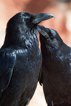 Ravens usually travel in twos, and crows travel as flocks (murders, tidings)