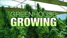 Greenhouse Growing For Efficient Medical Marijuana Production