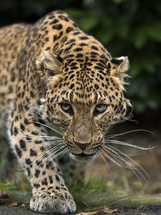 North Chinese Leopard by Colin Langford on 500px