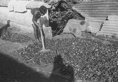 Het drogen van kopra, Sangihe- en Talaud-eilanden December 1948