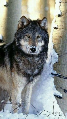 Wolf in snow by Vadaka1986 Flickr.