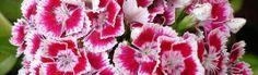 White Red Carnation Flower Header
