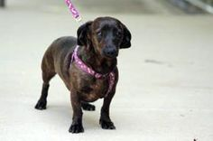 Aubie and Bama are 4 yr. old female Dachshund sisters. They both have a very sweet personality. They love being held and giving kisses. They are crate trained and walk together great on their leashes. We hope to be able to adopt them to the same family.  Cullman County Animal Shelter