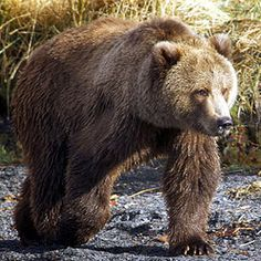 Brown Bear ----- North American Wildlife of the Frozen North