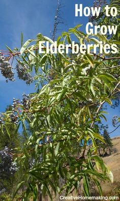 Elderberries for Every Garden Elderberry varieties and uses. Not only are elderberries great for making jams and syrups, they are also a favorite for butterflies and other wildlife. Elderberry Varieties, Elderberry Plant, Elderberry Recipes, Elderberry Ideas, Elderberry Growing, Elderberry Syrup, Fruit Garden, Vegetable Garden, Garden Plants