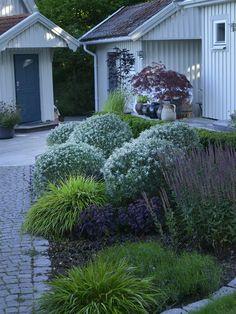 Havtorn 'Hikul' är en tät buske med silvergrå blad. Tätheten i bladverket gör att den lämpar sig utmärkt för formklippning. 'Hikul' klarar torka och blåst bra. Blir 100-150 cm som fullv