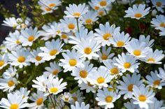 Daisy Wallpaper Group with items Rain Wallpapers, Background Images Wallpapers, Wallpaper Backgrounds, 1920x1200 Wallpaper, Daisy Wallpaper, Tumblr Wallpaper, White Flowers, Beautiful Flowers, Daisy Flowers
