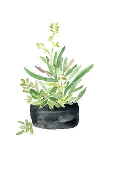 Art print Succulents in Black planter, watercolor print, zen art, Succulent… Watercolor Succulents, Cacti And Succulents, Watercolor Flowers, Succulent Planters, Succulents Painting, Cactus Painting, Garden Planters, Watercolor Print, Watercolor Illustration