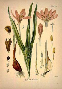 Colchicum autumnale L., Autumn crocus, Meadow saffron - Medicinal Botanical Plants