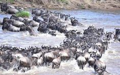 Great Migration Live Update – 05 August 2019 | Asilia Africa