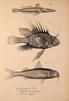 Eduard Rüppell | Neue Wirbeltiere zu der Fauna von Abyssinien gehörig (1840)