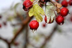 Os delicados recortes dos pelargónios, exibindo a sua penugem na manhã chuvosa, nos dias cinzentos.Enquanto a chuva dura, dura e fria, os...