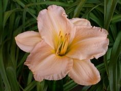 We are America's largest grower and online retailer of high quality daylilies, iris, peonies and other premium perennials. Day Lilies, Perennials, Peonies, Iris, Home And Garden, Alcove, Plants, Blues, Pink