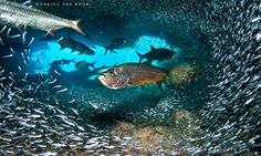 Tarpon are on my bucket list, for sure. This awesome shot is from a school in a cave in Grand Cayman (by Marc Montocchio).
