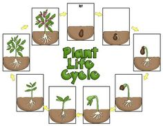 Plant Life Cycle Pack, Including Observation Journal, Labeling Pages and More! Plant Lessons, Science Lessons, Science Projects, Image Fruit, Easy Easter Crafts, Kindergarten Science, Art Lessons Elementary, Nature Crafts, Life Cycles