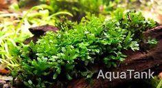 Crepidomanes sp. Calicut - Live Aquatic Aquarium Plants | Pet Supplies, Fish & Aquarium, Live Plants | eBay!