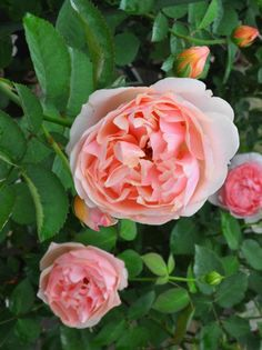 'Ellen' | Shrub. English Rose Collection. Production 1984 United Kingdom David Austin