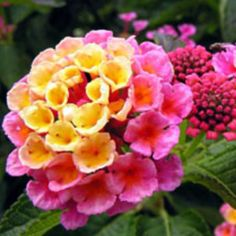 Coral Lantana - My favorite plant and my favorite flower.  My heart loves this beautiful thing.