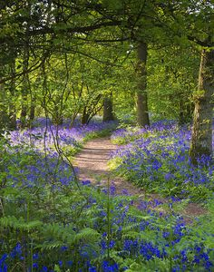 Bluebells Poster featuring the photograph Bluebell Woods Walk by Gary Eason Blue Bell Woods, Cerca Natural, Forest Path, Woodland Garden, Amazing Nature, Garden Paths, Beautiful Landscapes, Wild Flowers, Countryside