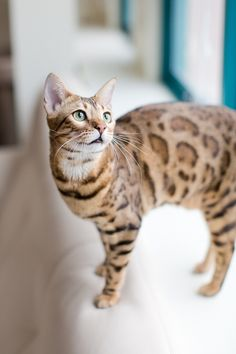 Gorgeous cat with leopard markings.