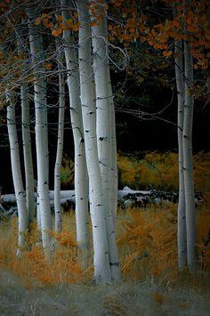 Aspen Trees In The Fall Canvas Print / Canvas Art by C Thomas Willard