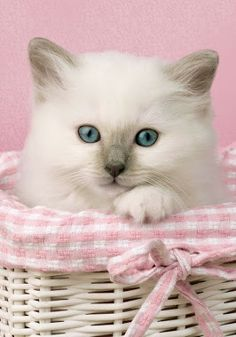 """A kitten is a rosebud in the garden of the animal kingdom."" --Robert Southey"