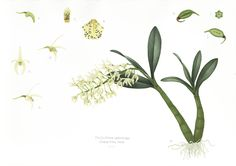 Central Tilba Rock Orchid (Thelychiton speciosus)