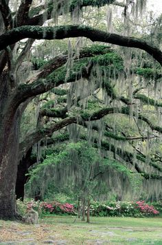 Live Oak draped in Spanish Moss (Savanah, GA) - live oaks are a reason in and of themselves to live in the south