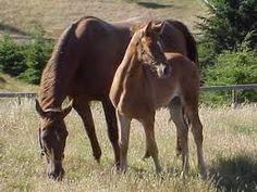 caballo hannoveriano - Buscar con Google
