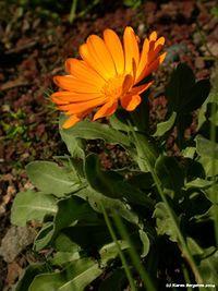 Marigold (Calendula officinalis). Can be used externally to heal cuts, scrapes, burns, abscesses, varicose veins.