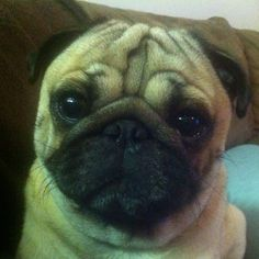 looks just like our puggy!