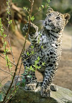 "Kotiya - ""Sri Lanka Leopard"" cub ~ So beautiful by misty Small Wild Cats, Big Cats, Cats And Kittens, Animals And Pets, Baby Animals, Cute Animals, Wild Animals, Beautiful Cats, Animals Beautiful"