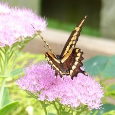 An enormous yellow swallowtail butterfly perched on sedum flowers in Ontario in September