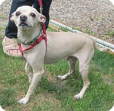 Missouri City, TX Italian Greyhound/Chihuahua Mix. Meet