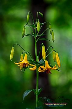 Lady Slipper Orchid, Yellow Wildflowers, Rain Drops, Womens Slippers, Wild Flowers, Orchids, Lily, Plants, Flowers