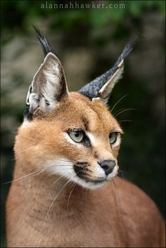 Caracal - love to see one in the wild Beautiful Cats, Animals Beautiful, Cute Animals, Lynx, Big Cats, Cool Cats, Caracal Caracal, Cat Anatomy, Exotic Cats