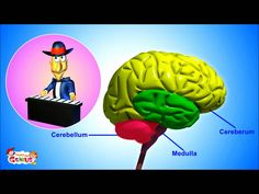 Week 4.  The Nervous System- Animation-Video for Kids -from www.makemegenius.com ...